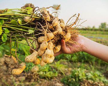 Jak pěstovat arašídy ze semene, zpracování