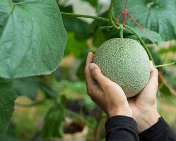 Jak pěstovat dýně a melouny? Stanoviště, zálivka, půda, hnojení, rozmnožování