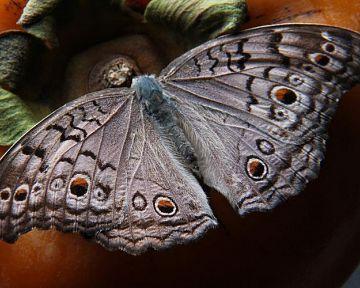 Jak se zbavit nočních motýlů v bytě a na zahradě? Pomůže chemie i babské rady